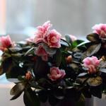 Rosa Blüten auf der Fensterbank im Frühstücksraum